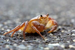 Crab on a Dry Journey