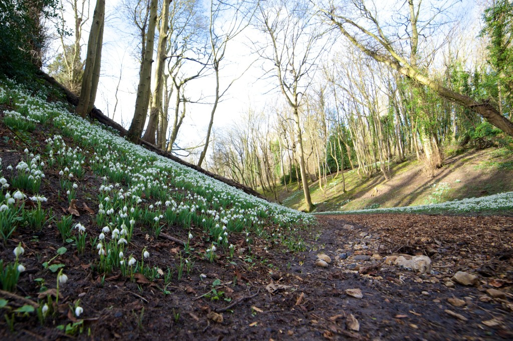 Snowdrops at Hedingham Castle